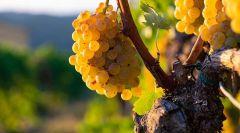 La Vernaccia Riserva 2013 su Winechef